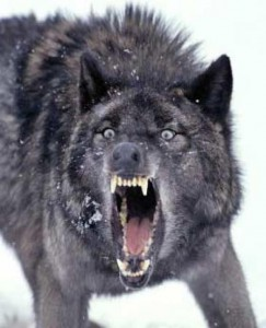 snarlingwolf_000_zpsbbfe577a